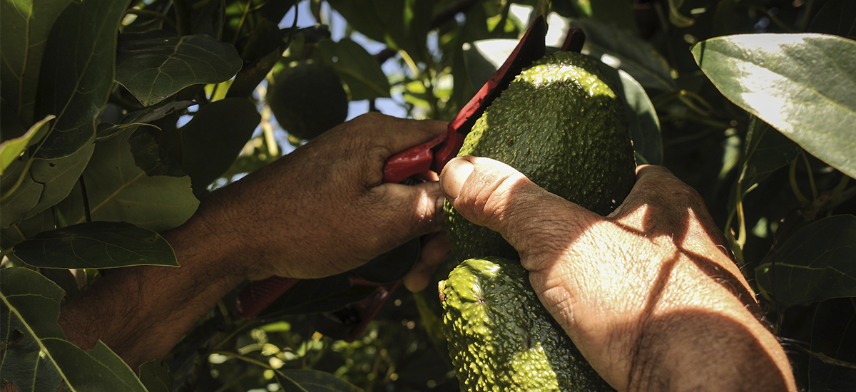Colombia en la recta final para enviar aguacates a China